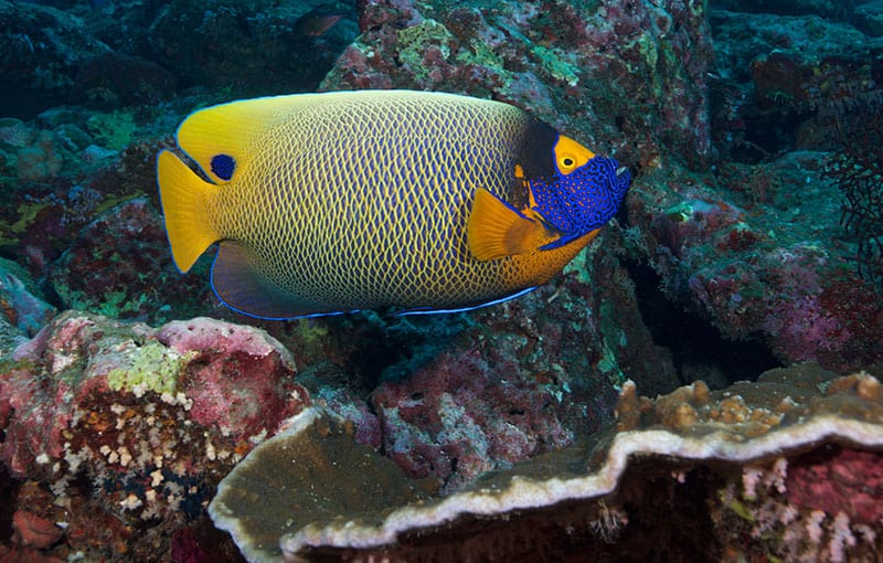 Blueface Angelfish (Pomacanthus Xanthometopon) - Richelieu Rock