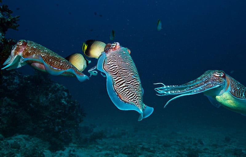 Cuttlefish Mating at Richelieu Rock