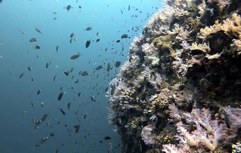 Koh Bida Nok - Soft Corals