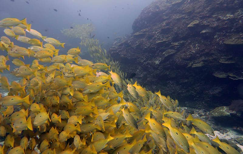 Yellow Snapper at Richelieu Rock