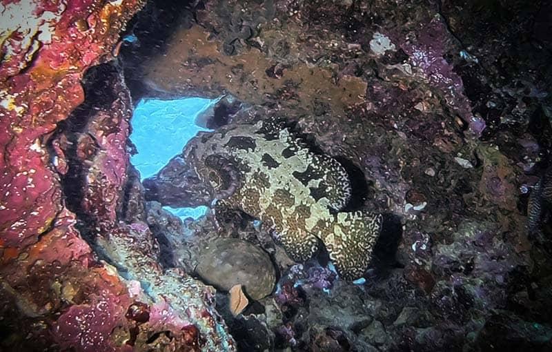 Hin Daeng - Marble Grouper