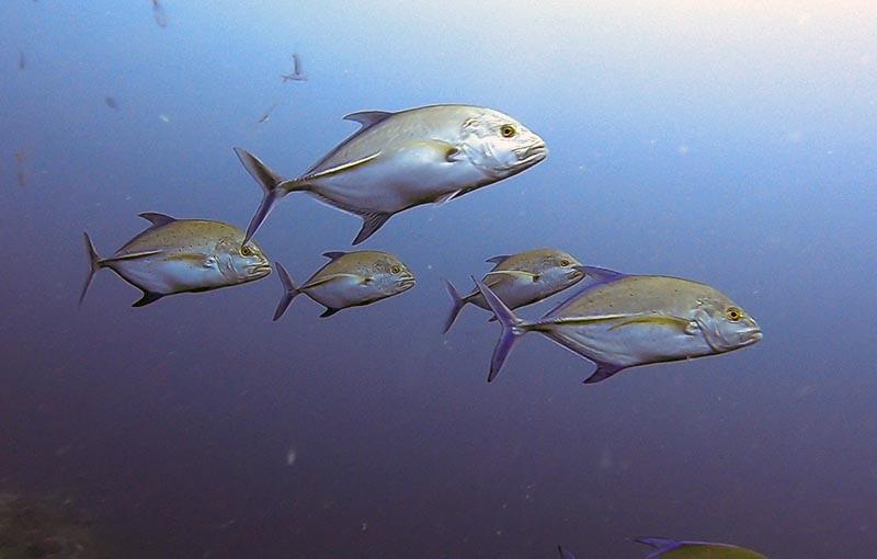 Homerun Reef - Bluefin Trevally