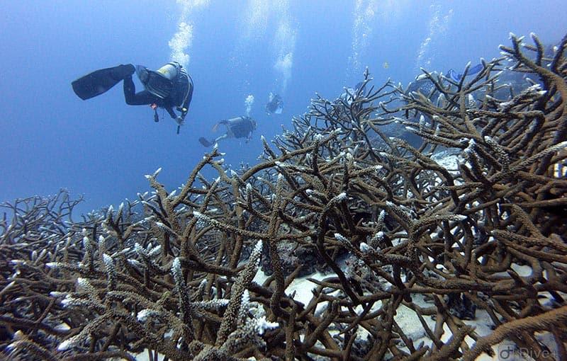 Honeymoon Bay - Staghorn Coral