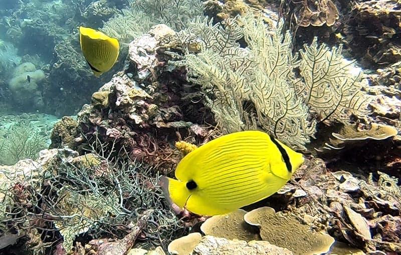 Koh Bida Nai - Butterfly Fish