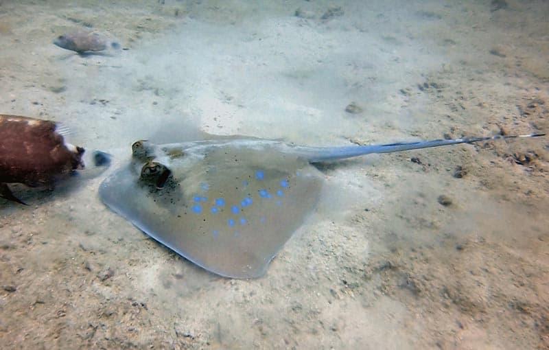 Koh Bida Nai Dive Site - Blue Spotted Stingray
