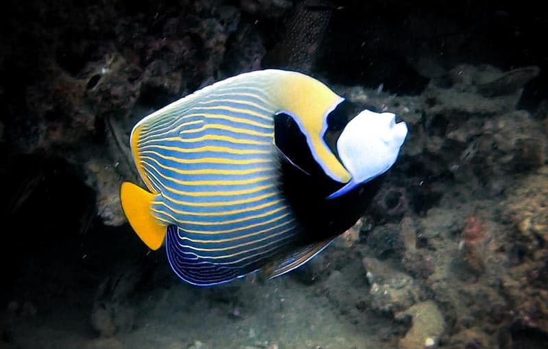 Koh Bida Nai - Emperor Angelfish