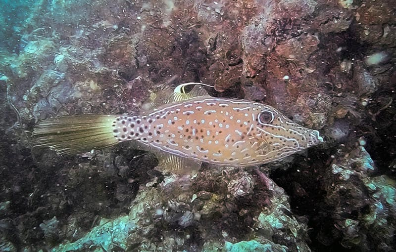 Koh Dok Mai - Filefish