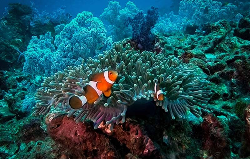 Koh Haa Neua - Clownfish