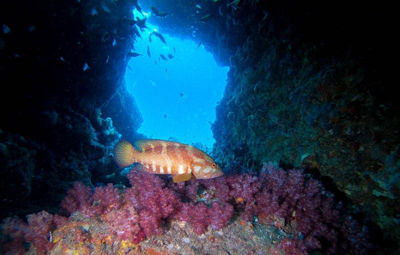 Koh Haa Neua - Grouper