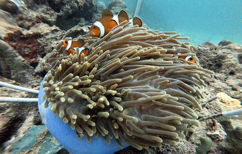 Pileh Wall - Clownfish