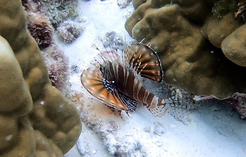 Racha Noi Banana Bay - Lionfish