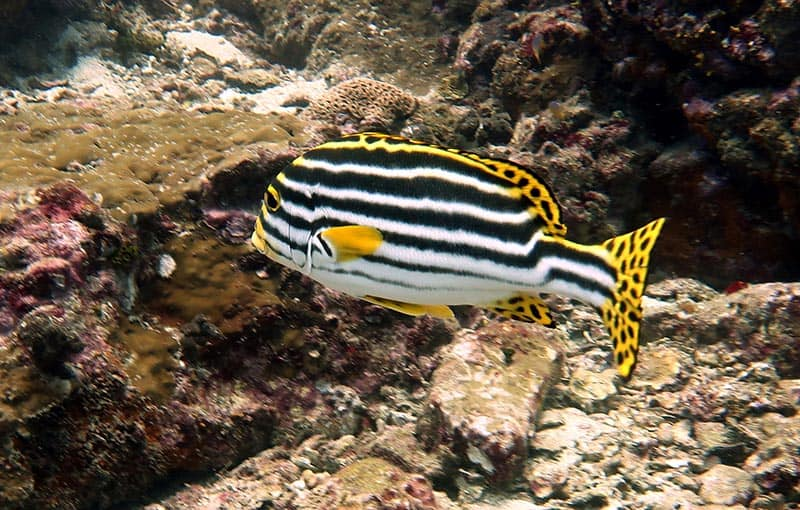 Racha Noi Banana Bay - Sweetlips