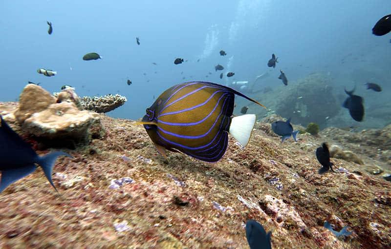 Racha Noi Bay - Angelfish