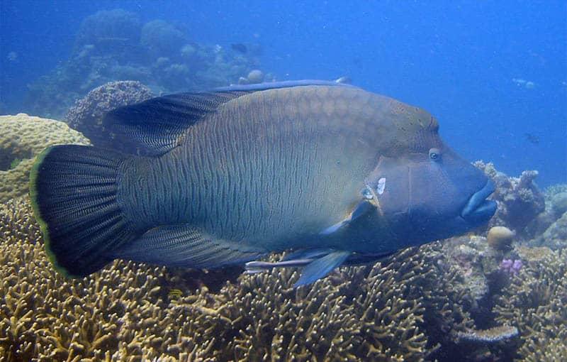 Shark Fin Reef - Napoleon Wrasse