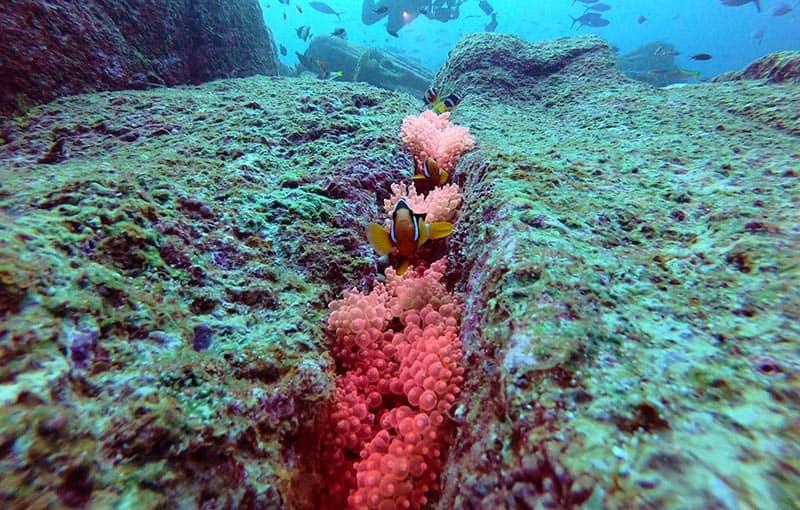 Shark Fin Reef Pink Anemone