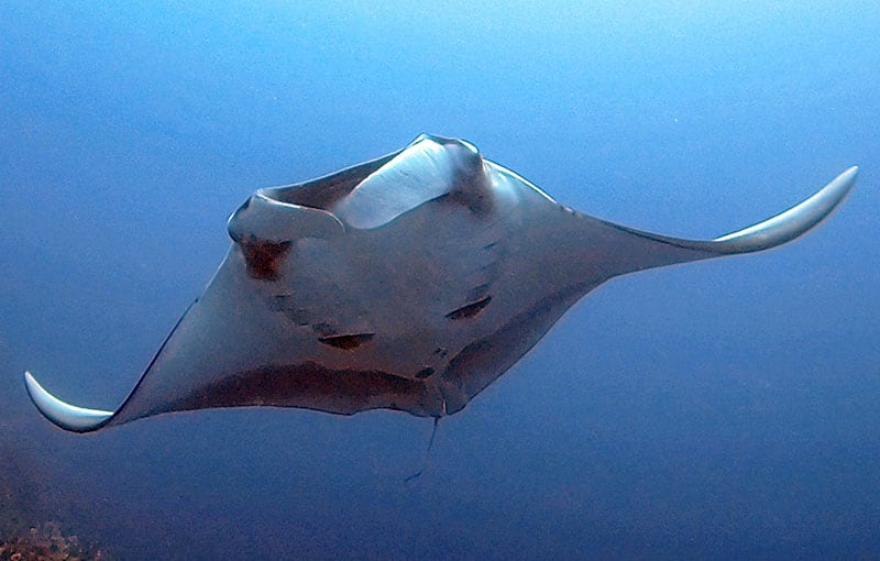 South Tip - Manta Ray