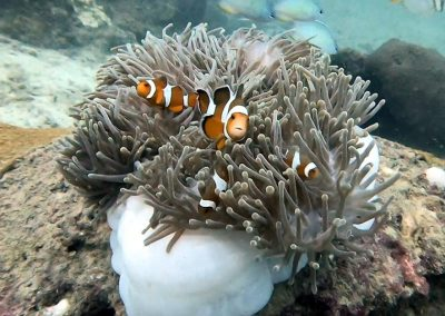 Viking Bay - Clownfish