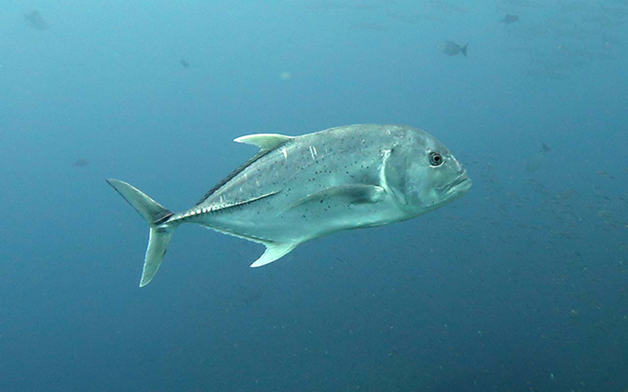 Giant Trevally at Tachai Pinnacle