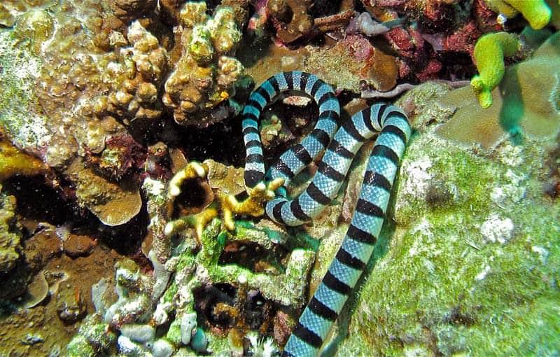 Koh Bon Ridge - Banded Sea Krait