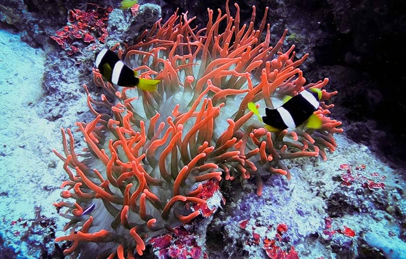Red Anemone Thailand Diving