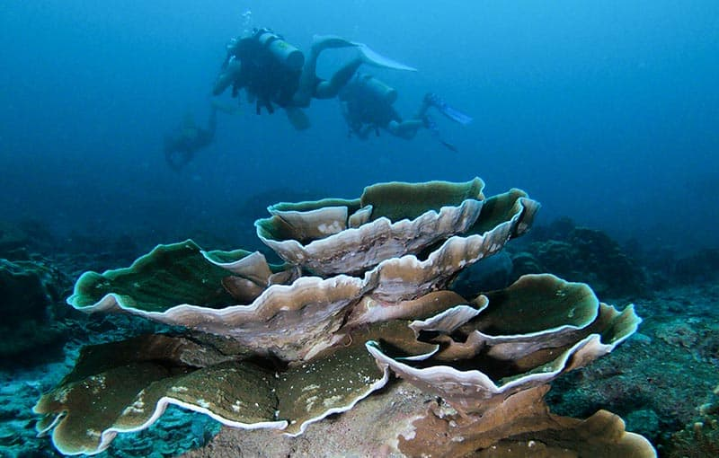 Koh Tachai Reef - Hard Coral