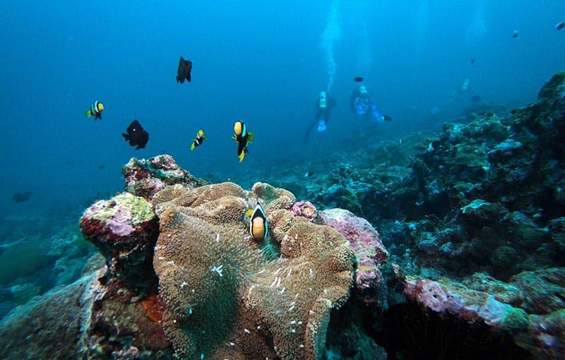 Koh Tachai Reef - Anemone
