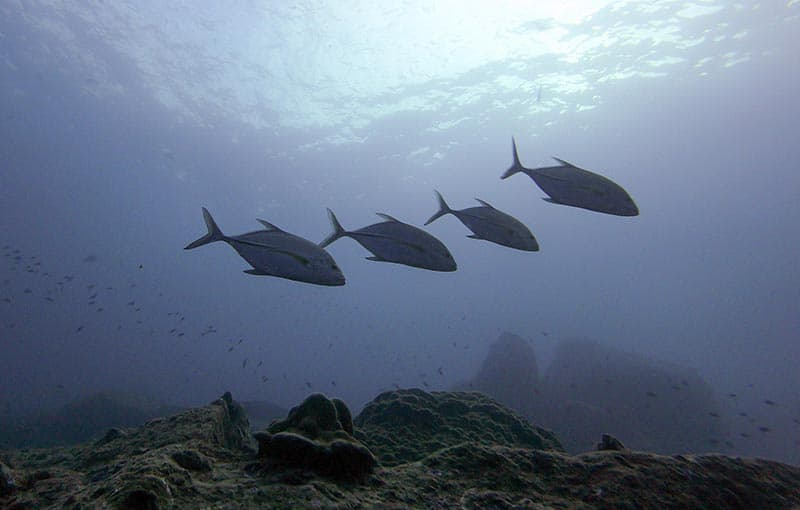 Koh Tachai Reef - Bluefin Trevally