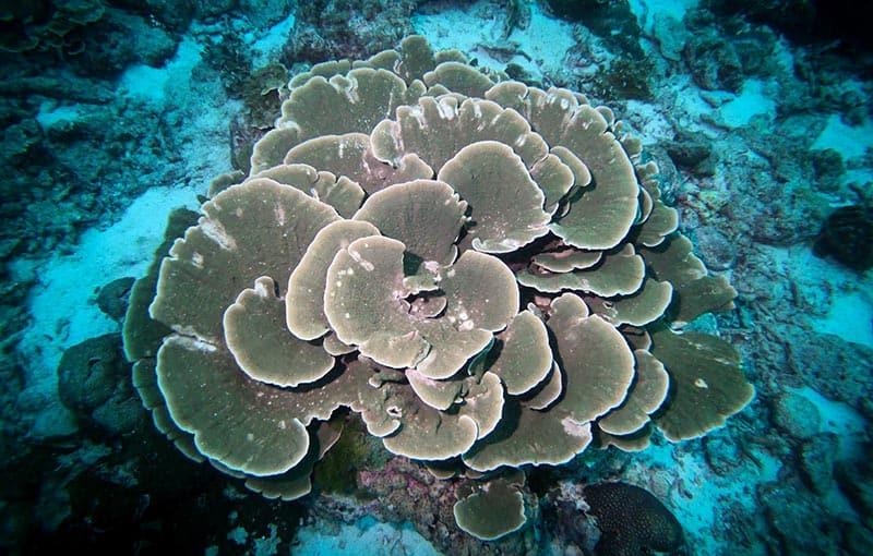 Koh Tachai Reef - Hard Coral 2