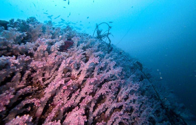 MV Sea Chart Wreck - Purple Soft Corals on Bow.JPG