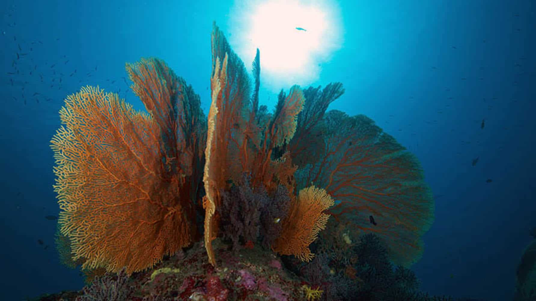 Koh Tachai Pinnacle - Beautiful Sea Fan