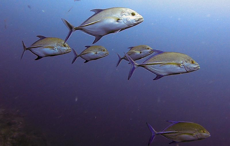 Koh Tachai Pinnacle - Bluefin Trevally
