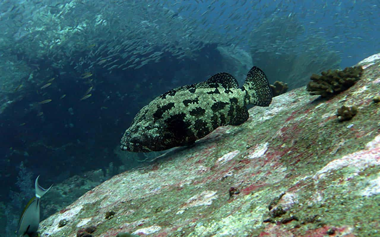 Koh Tachai Pinnacle - Marble Grouper