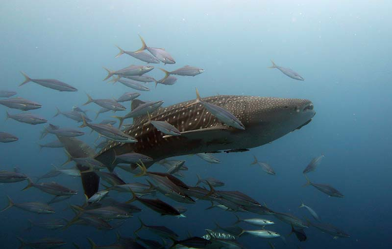 Whaleshark at Tachai Pinnacle